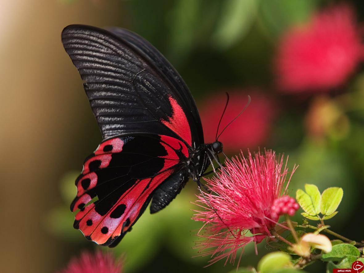 پروانه ها چطور می توانند طعم ها را حس نمایند؟