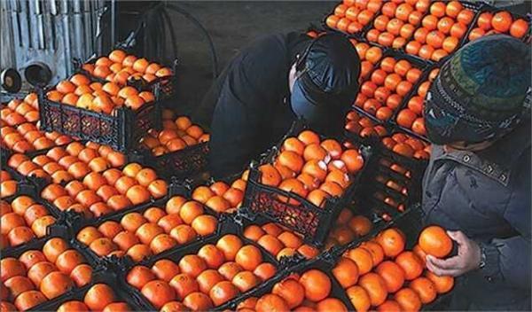 خیار ارزان شد ، این بار پرتقال کمیاب شد