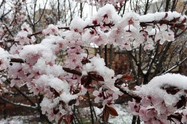 خبرنگاران سرما به 60 تا 100 درصد درختان میوه پیش رس البرز خسارت زد