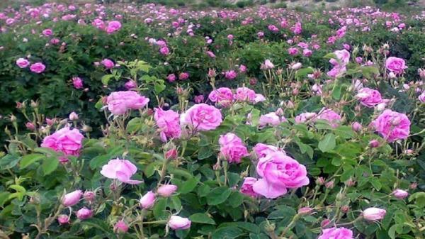 شروع برداشت گل محمدی در استان قزوین